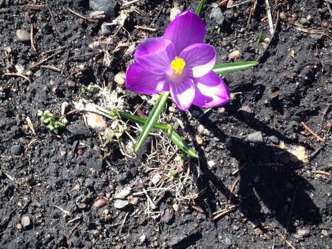 spring crocus in dirt